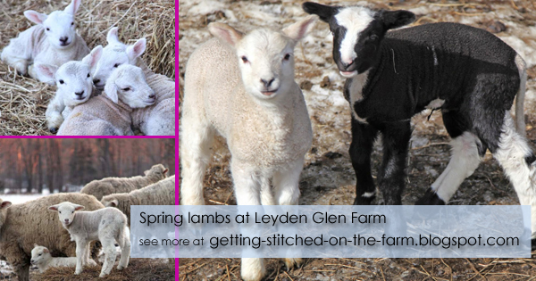 Leyden Glen Farm lambs - see more at getting-stitched-on-the-farm.blogspot.com